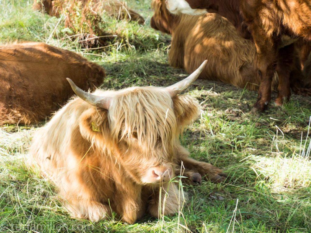 kyr ved ånnaboda på vei til falkaberget